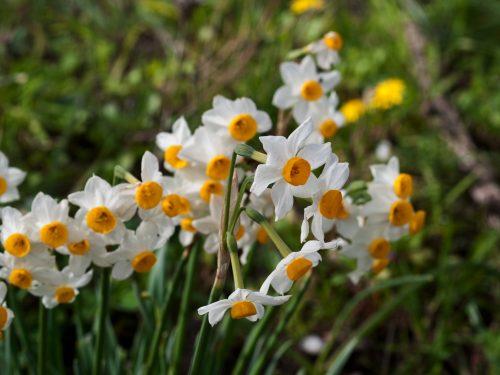 Il Narcissus Tazetta; storia di un fiore antico e sacro